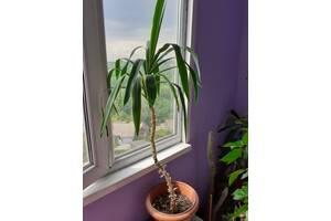 домашняя пальма Юкка-живой декор интерьера