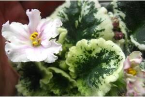 Фіалка сенполія рослина кімнатна