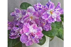 Фиалки Киев, детка стартер L Rover - огромные цветы фэнтези