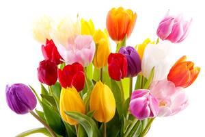 Голландская луковица тюльпанов для выгонки 12+, крокусы, нарциссы
