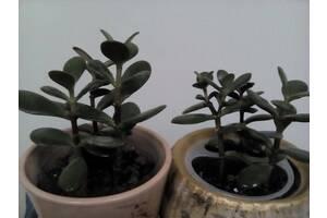 Сукуленти,  Грошове дерево, толстянка молоді кущики