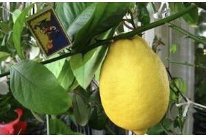 Лимон сорт новогрузинский грейпфрут киви инжир банан ананас мирт кофе Манго маракуйя