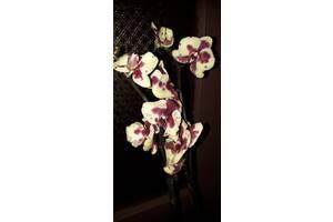 Дуже жирний слоник орхідея фаленопсис