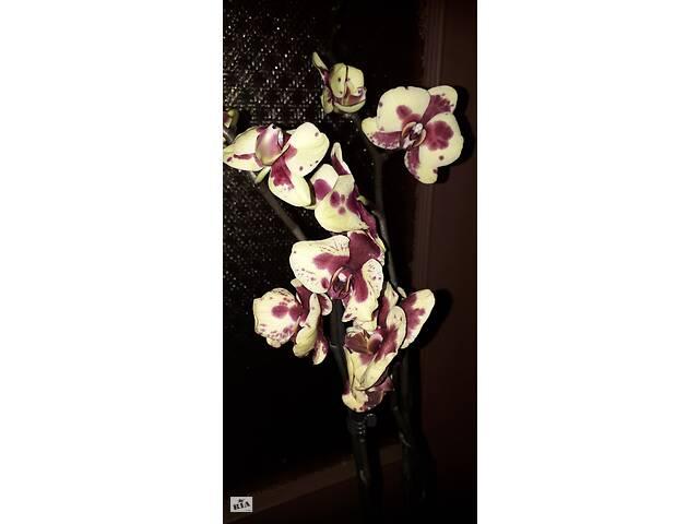продам Очень жирный слоник орхидея фаленопсис бу в Каменском (Днепродзержинск)