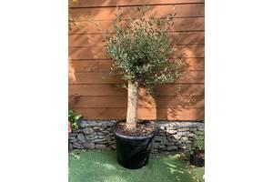 Оливковое дерево Florinda Olea europaea, 140-160см, объём горшка 35 л