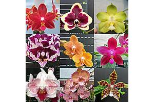 Орхидея Подростки сюрпризы гибридные сорта в размере 2,5
