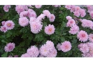 Продам раннюю, низкорослую садовую хризантему