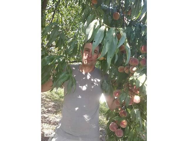 Продам саженцы персиков