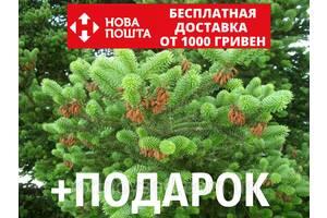 Пихта греческая семена (50 шт) (пихта кефалиниийская, Ábies cephalónica) для выращивания саженцев + подарок