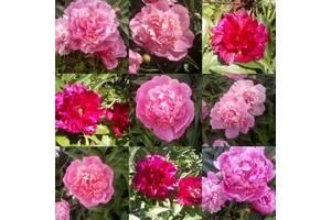 Пионы розовый, бордовый (деленки)