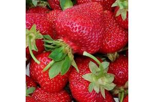 Розсада полуниці 13 сортів