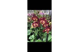 Редкая орхидея на 2 цветоноса