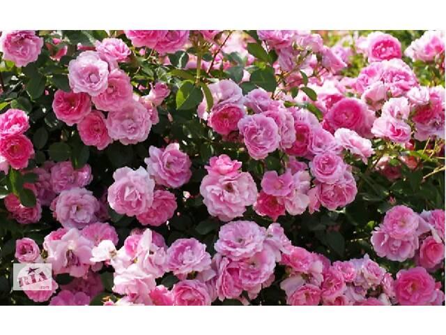 Роза чайная (розовая и белая) саженцы, купить, украина