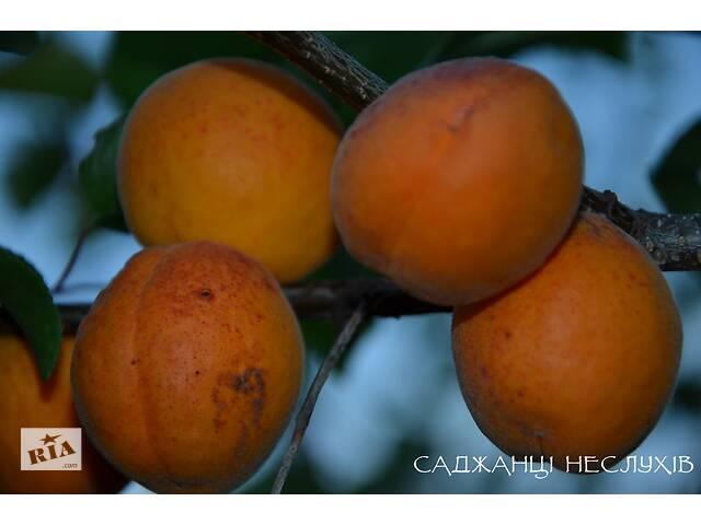 Саженцы абрикосов 14 сортов, саженцы абрикоса