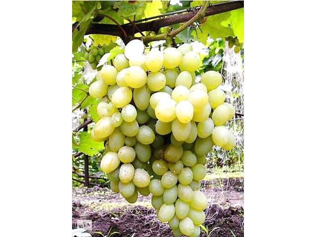 Саженцы винограда 40 сортов, саженцы винограда