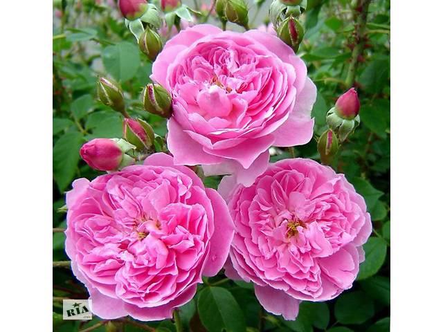 Саженец розы Мерлин (Merlin)- объявление о продаже  в Киеве