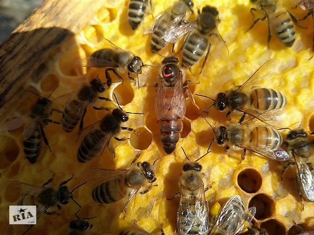 бу Бджоломатки - Пчеломатки Украинской степной породы 2019 Хмельницкий тип в Запорожье