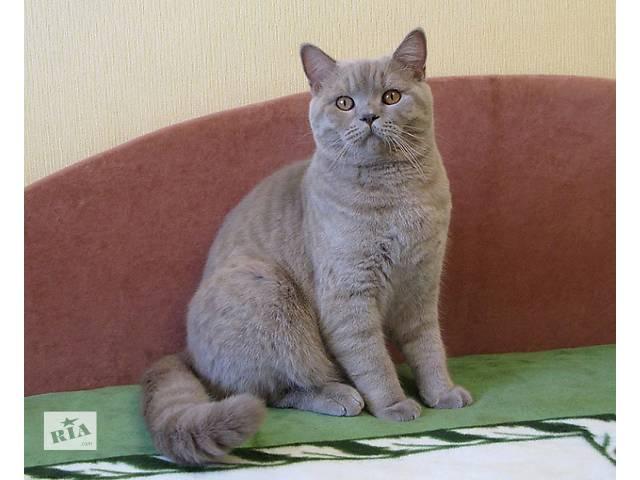 Британский короткошерстный кот - настоящий аристократ- объявление о продаже  в Киеве