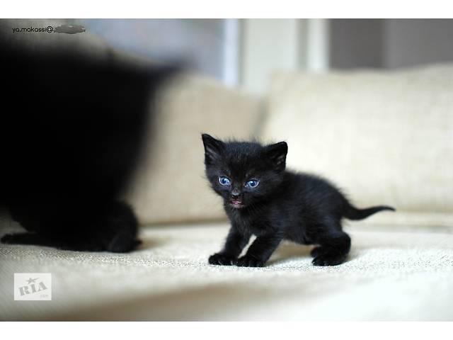 бу Бурманская кошка - метис соболиного окраса [шоколад] в Днепре (Днепропетровск)