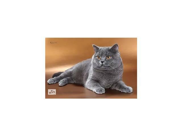 продам Британский кот на вязку бу в Луганске