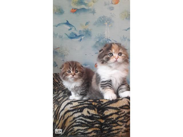 Котята шотландские- объявление о продаже  в Харькове
