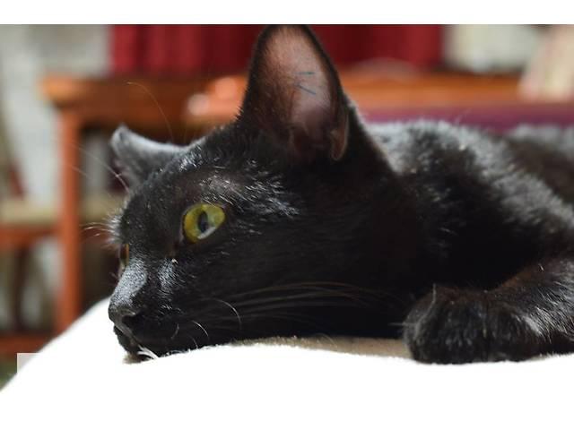Мистик - для истинных ценителей черных котиков- объявление о продаже  в Киеве