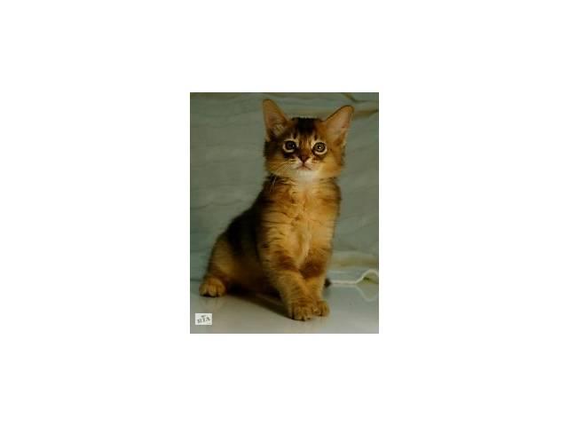 Продам котят сомалийской породы