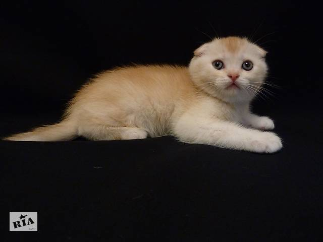 купить бу Продам надзвичайно рідкісного і красивого шотландське кошеня скоттиш-фолд (Scottish Fold). Малюк має в Києві