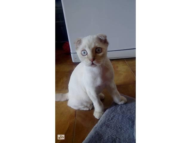 Шотландский вислоухий кот, подстриженный, коту пару месяцев- объявление о продаже  в Тернополе