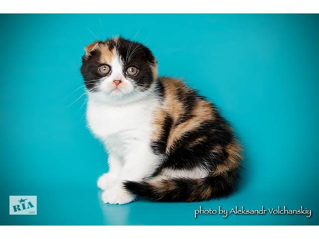 трехцветные вислоухие котята фото