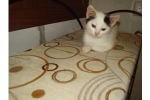 Ангорские кошки