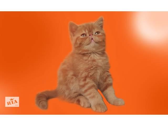 продам Экзотический котенок бу в Харькове