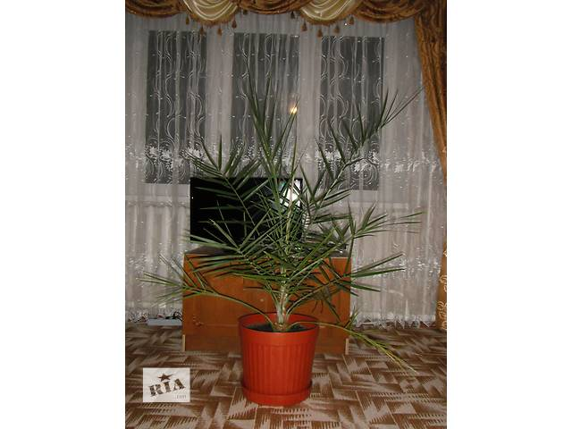 продам финиковая пальма 15 лет бу в Тальном