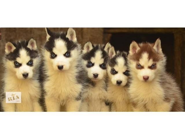 купить бу Голубоглазые щенки хаски в Виннице