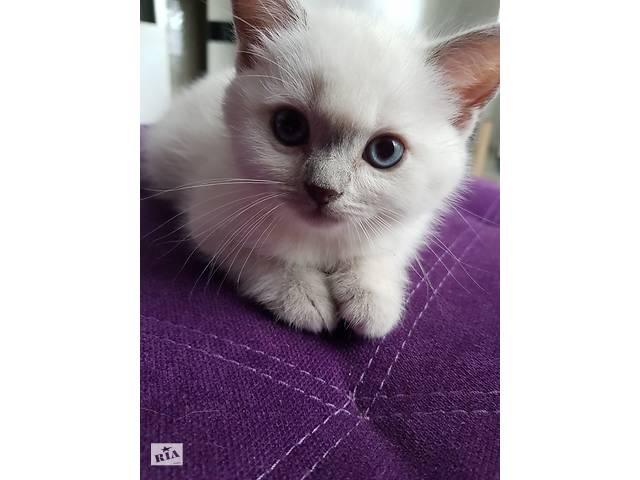 бу Шотландский котёнок blue point в Киеве