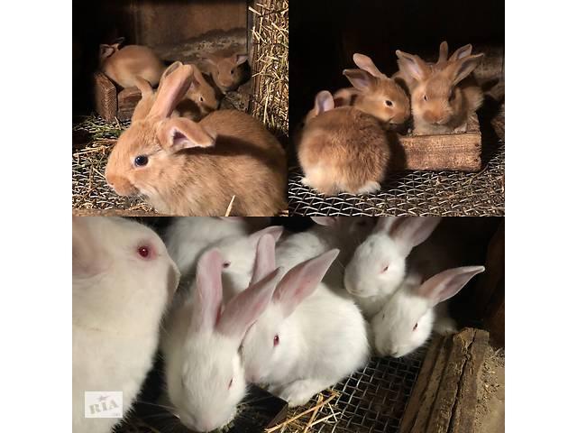 Кролики бургундцы и белый паннон- объявление о продаже  в Борисполе