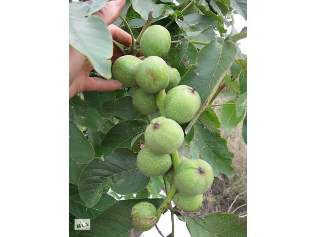 Саженцы скороплодного грецкого ореха Идеал, Кочерженко