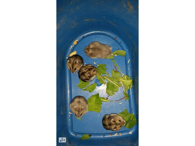 Продам джунгарских хомячков- объявление о продаже  в Виннице