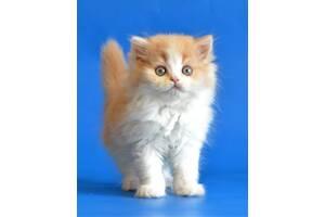 Шотландский котомальчишечка