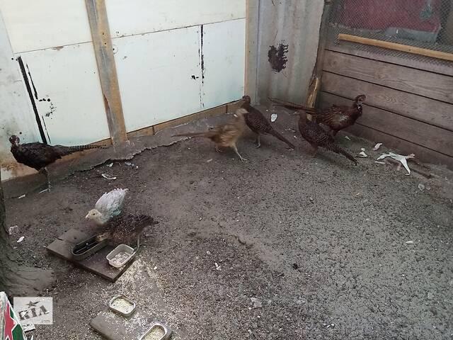 бу Семья охотничьих румынских фазанов.  в Днепре (Днепропетровск)