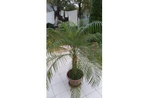 Пальма финиковая 1. 60 метра