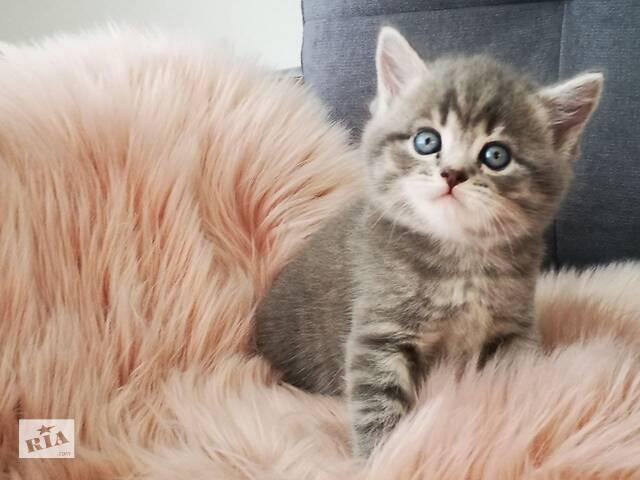 продам Шотландський прямовухий котик Скоттіш-Страйт бу в Хмельницком