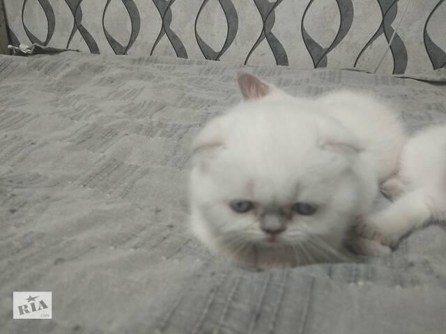 Продам шотланских котят- объявление о продаже  в Харькове