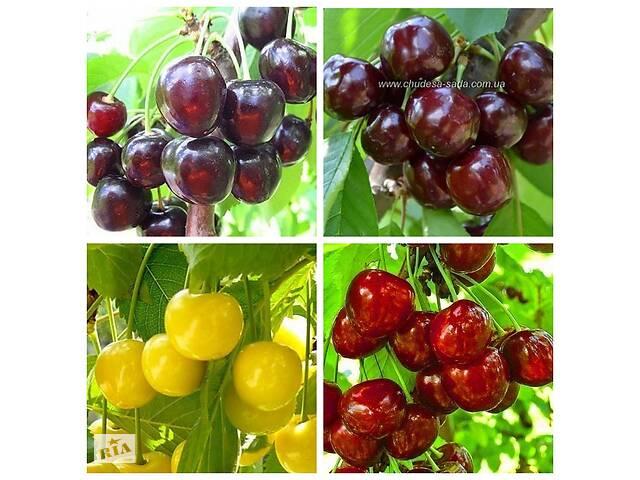 Саджанці великоплідних сортів вишні та черешні