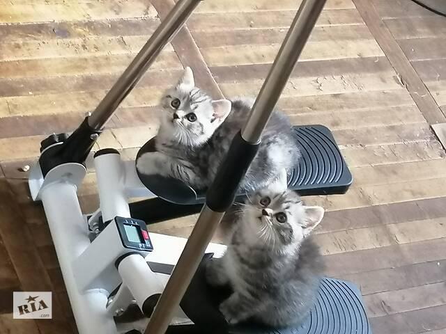 купить бу Британские котята  в Киеве