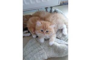 Котята персидской породы маленькие экзоты
