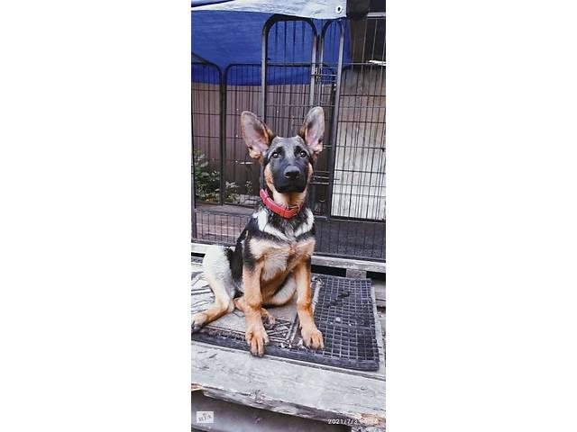 Подрощенный щенок немецкой овчарки (4 месяца)- объявление о продаже  в Кропивницком (Кировоград)