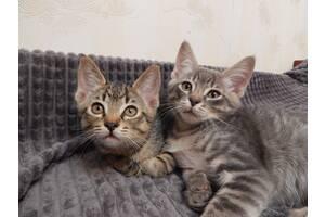 Шотландские котики! Кому кота – Вам сюда! 2 месяца
