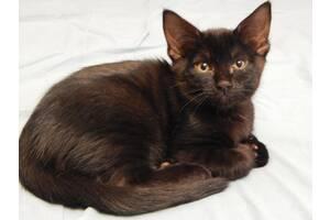 Шотландский кот. Чёрный кот -удача ждёт! 2 мес