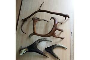 Рога оленя и лося